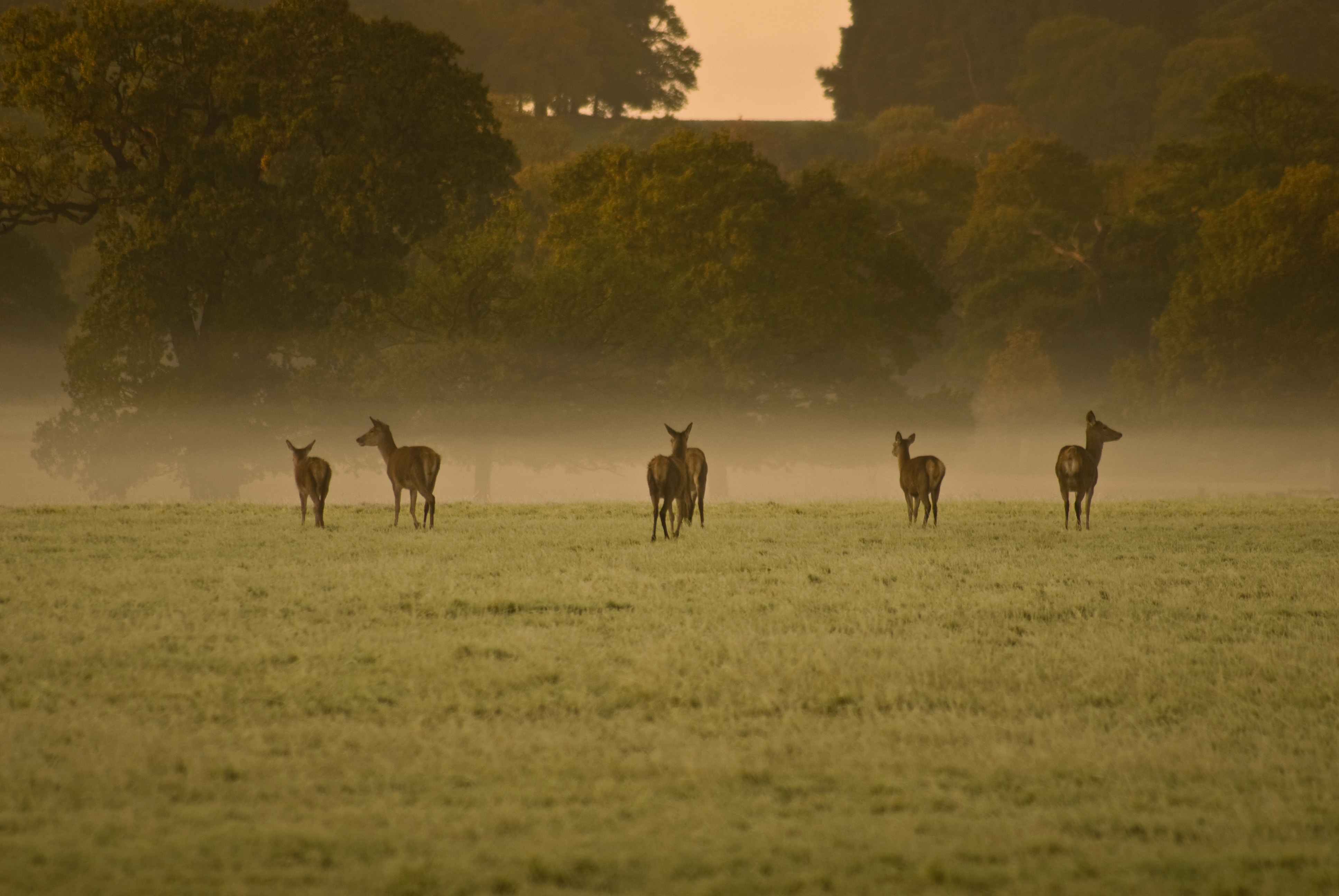 Deer standing in a row in a foggy meadow