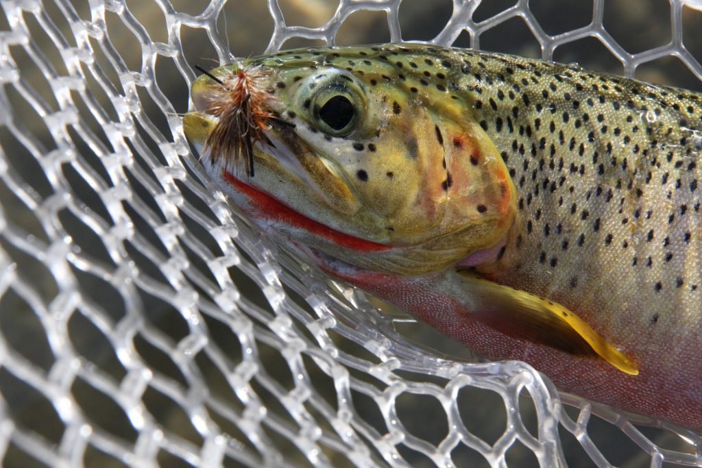 Fly fishing, Trout in a net with artificial fly in mouth